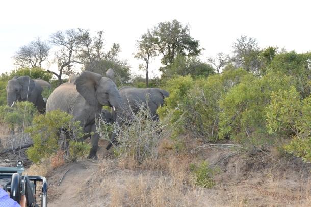 Elefanter1