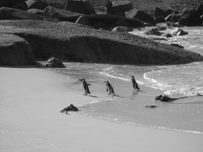 Også pingvinene på Boulder's Beach hadde gjort rent doene før vi kom på besøk.